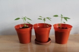 chilli plants grow your own